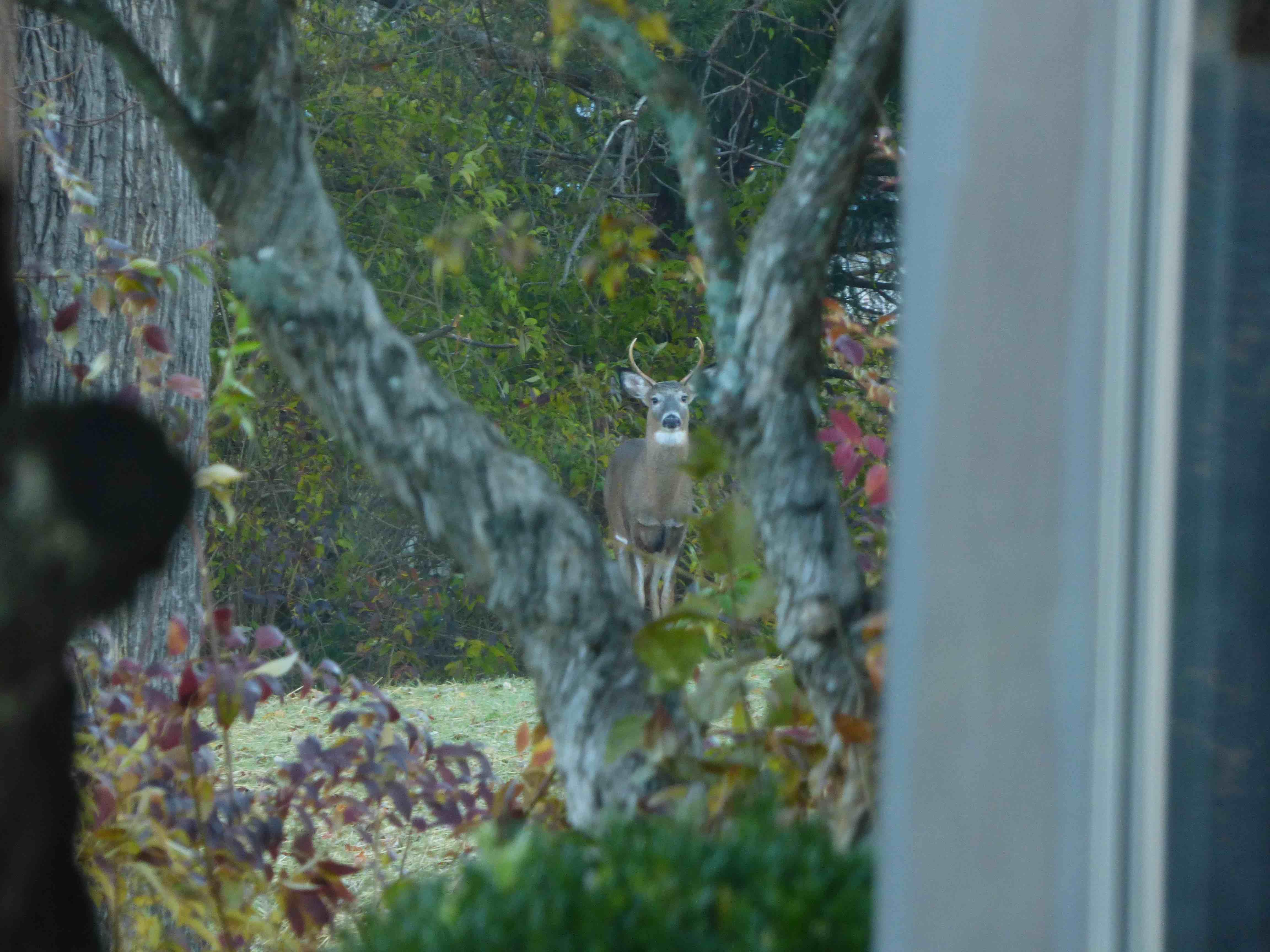 Deer looking through the window