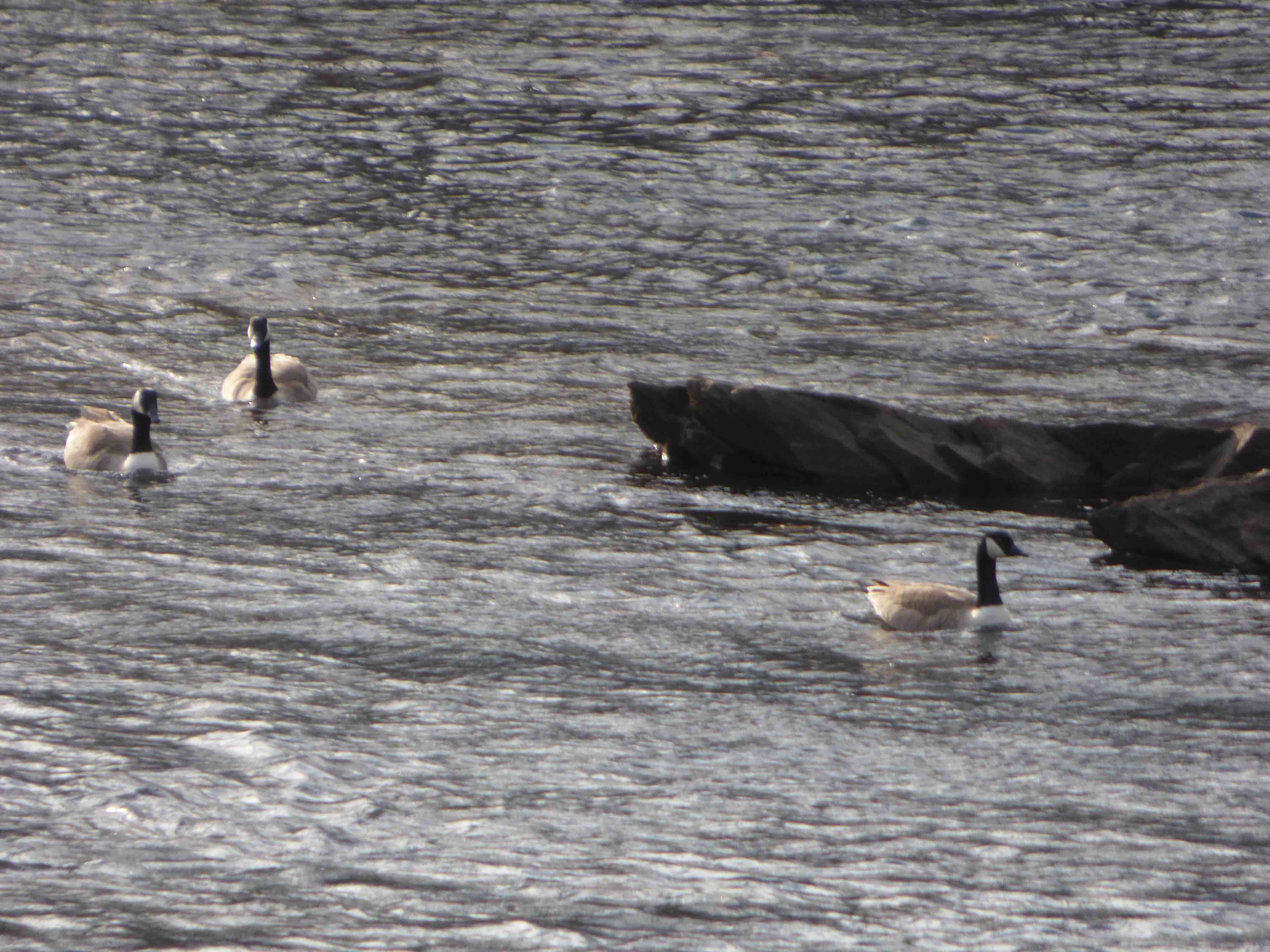 Geese on the river